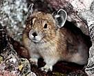 As their mountain habitat disappears due to global warming, American pikas (<I>Ochotona princeps</I>) may be the first mammals in North America to fall victim to climate change.