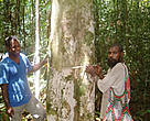 Tommy Kosi (left), WWF's eaglewood adviser, taking measurement of an eaglewood tree with a local Amau landowner.
