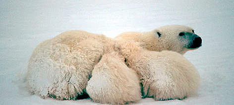 Polar Bear (<i>Ursus maritimus</i>), mother with cubs, Churchill area, Manitoba, Canada. rel=