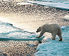 Polar bear (&lt;i&gt;Ursus maritimus&lt;/i&gt;) walking on thin ice and trying to reach the next ice block.
