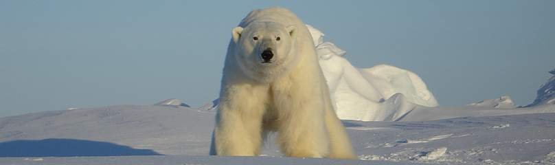 Polar bears in the southern Beaufort Sea are showing signs of vulnerability, such as diminished ... / ©: Eric V. Regehr / USGS