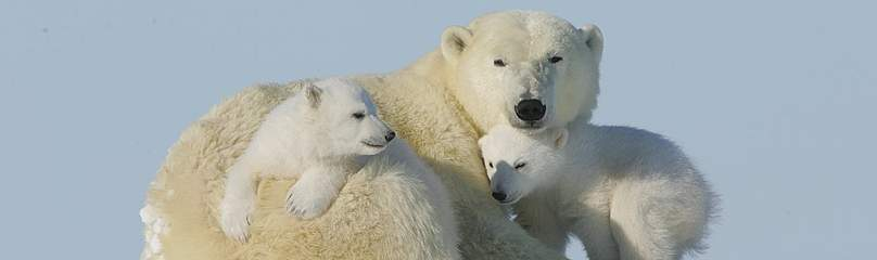 A female Polar bear (Ursus maritimus) with her two young cubs in the snow near Churchill, Manitoba, ... / ©: David Jenkins / WWF-Canada