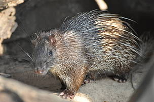 Asiatic Brush-tailed Porcupine.