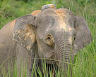 Data reveals there are probably not more than 1,000 Borneo pygmy elephants left in Sabah, Malaysia, less than the 1,600 or so previously estimated.