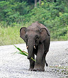 Bornean Pygmy elephant (&lt;i&gt;Elephas maximus borneensis&lt;/i&gt;) calf. / &copy;: WWF-Canon / Cede PRUDENTE