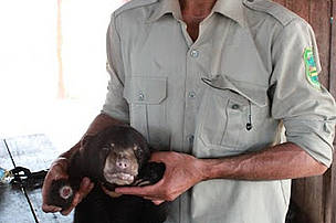 Ranger with sunbear, a protected and endangered species, Eastern Plains Landscape, Cambodia