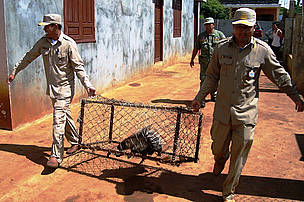 Rangers rescuing illegally caught porcupine, Eastern Plains Landscape, Cambodia