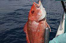 Red snapper wth Sea-Qualizer-Weight