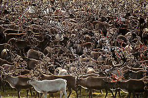 Reindeer flock (Rangifer tarandus), Chukotka, Siberia, Russia.