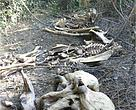 Remains of three wild Asian elephants found inside Phnom Prich Wildlife Sanctuary, Mondulkiri province.