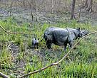Mother of newly born rhino calf killed by poachers in Manas National Park of India	