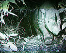 Borneo rhino caught on film. Kota Kinabalu, Malaysia.