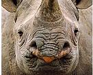 rhino wildlife trade