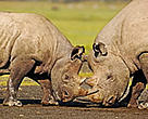 Black rhinos(<i>Diceros bicornis</i>) locking horns in Kenya's Lake Nakuru National Park.