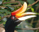 Rhinoceros hornbill (&lt;i&gt;Buceros rhinoceros&lt;/i&gt;). / &copy;: WWF-Canon / Alain COMPOST