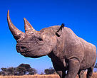 A black rhinoceros (&lt;i&gt;Diceros bicornis&lt;/i&gt;) in Zimbabwe.