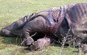 Dead Indian rhino on the ground / &copy;: WWF