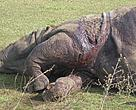 Rhino recently killed in Chitwan