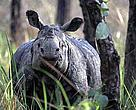 one horned rhinoceros
