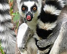 Ring tailed lemur in the Anja reserve