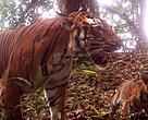 tigress and her cub