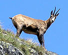 Chamois in Retezat National Park
