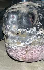 The leatherback turtle named Roamin' Romana. Click to view an enlarged picture. / ©: WWF-Canon / Carlos Drews