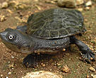 Due to the growing illegal trade of the Roti Island snake-necked turtle, the species – endemic to eastern Indonesia – is close to extinction.