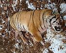 An endangered Amur tiger killed by a deer hunter in Russia.