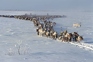 Changes in the weather on land have made life more difficult for many arctic species. Reindeer/caribou, important species in the Arctic and subarctic, have difficulty digging through layers of ice in the winter snow to reach their food. The ice layers are caused by repeated thawing and freezing of snow - more common conditions in increasingly warmer arctic winters.