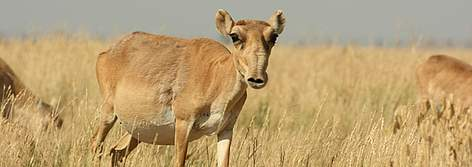 Female Saiga antelope. Kalmykia, Russia. rel=