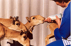 Since WWF started its saiga project in 2003,  the population of the species in Betpakdala has grown ... / &copy;: Yuri Arylov