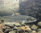 Wild salmon underwater at Laerdal salmon centre, Norway.