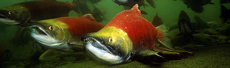 Sockeye salmon (Oncorhynchus nerka), adults migrating up the Adams River to spawn. B.C. Canada rel=