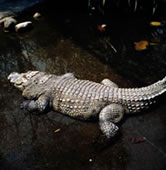  Siamese crocodile, Thailand. / &copy;: WWF-Canon / Gerald S. CUBITT