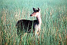 Female Sambar (&lt;i&gt;Cervus unicolor&lt;/i&gt;) deer in tall grass. / &copy;: WWF-Canon / A. Christy WILLIAMS