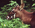 Saola (<I>Pseudoryx nghetinhensis</I>, also known as Vu Quang ox).<BR>