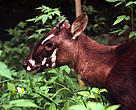 Saola or Vu quang ox (Pseudoryx nghetinhensis); Hanoi, Vietnam.