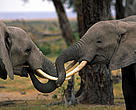 African savanna elephants (Loxodanta africana africana). Two young bulls play fighting in Amboseli National Park, Kenya.