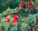Belize's upper Macal River Valley is home to the last 200 scarlet macaws (<I>Ara macao</I>) left in the country.