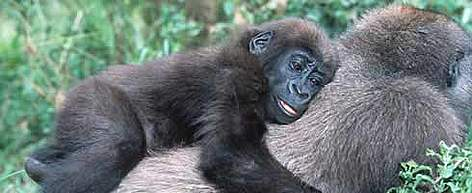 In some cases the common name and scientific name are same. For example, Gorilla's scientfic name ... rel=