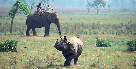 Indian rhinoceros (Rhinoceros unicornis) radio tracking on Indian elephant, Chitwan National Park, ... rel=