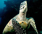 Hawksbill turtles live on coral reefs where their favourite food, sponges, are most plentiful.