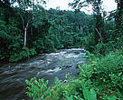 Tropical Rain Forest. Vegetation on riverbank - moist forest of the Western Congo Basin at the edge of Minkebe Reserve. Gabon