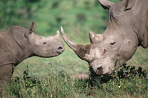 Southern white rhinoceros mother and calf. The white rhino is listed by the IUCN as endangered. rel=