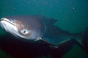 Giant catfish (Pangasianodon gigas)