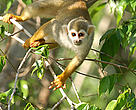 Squirrel monkey (Saimiri sciureus) in a tree. Mountains of Tumucumaque National Park, Amap, Brazil, 2005.