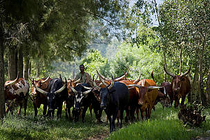 A cattle herder with his cattle on the edge of Virunga National Park, near the provincial capital ... / ©: Kate Holt / WWF-UK