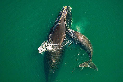 Northern right whale mother &amp; calf (Eubalaena glacialis) off the Atlantic coast of Florida. rel=