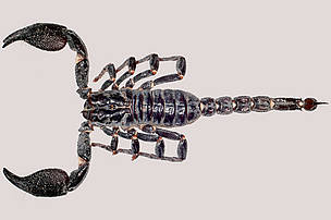 Heterometrus nepalensis. Among the new finds are 3 species of scorpion, one of which was described from the Chitwan National Park in Nepal in 2004. This discovery was particularly significant as it was the first species of scorpion ever to be discovered in the country. The 8cm long, reddish-black, species has a smooth carapace, and a reddish-brown tail tip or telson that contains the venom.